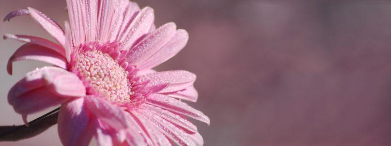 fleur de gerbera et gouttes de rose